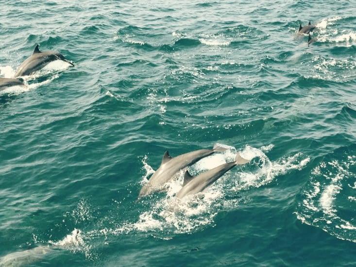 La parade des dauphins autour des bateaux de pêche.