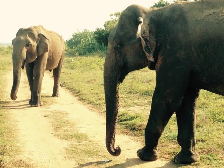 Sa majesté l'éléphant sri lankais.