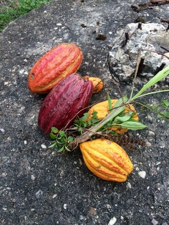 Recolte des fèves de cacao