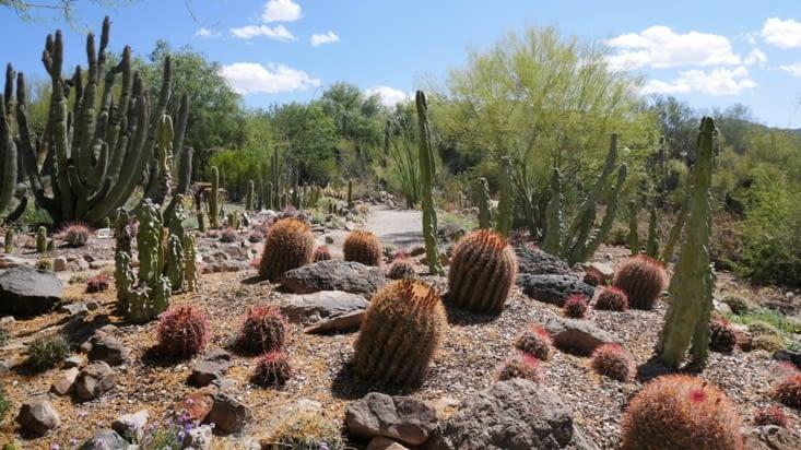 Une autre variété de cactus visible au Sonora museum