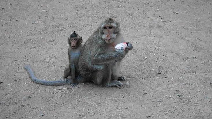 Ne pas oublier les singes, toujours aussi filous pour choper la nourriture des touristes