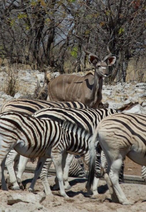 un kudu en attente de boire