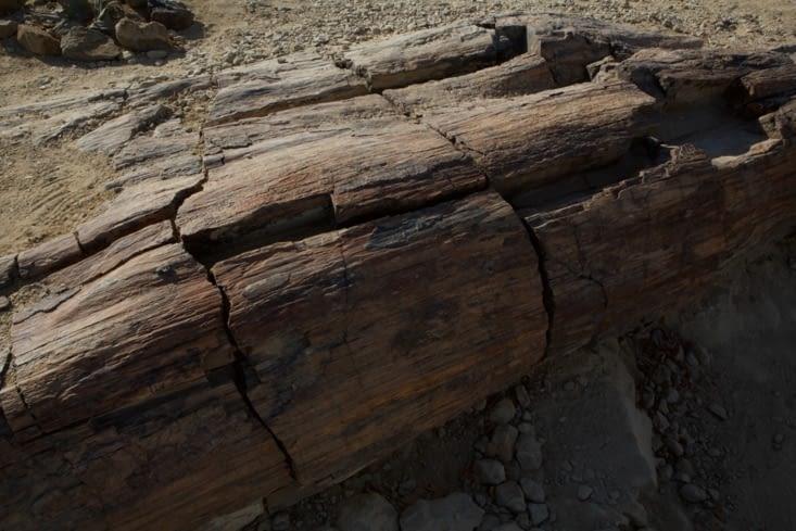 tronc fossilisé