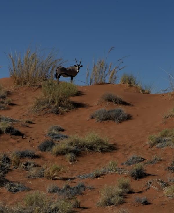 Un oryx nous regarde