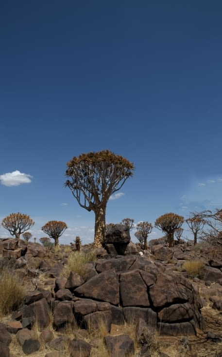 pierres calcinées et arbres à carquois