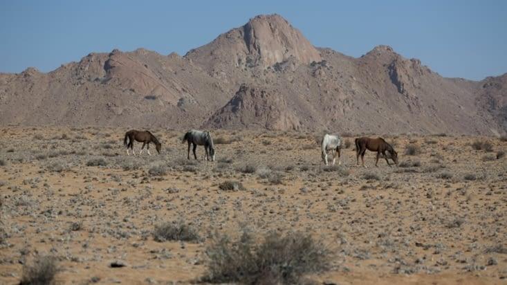 Que peuvent manger ces chevaux ?