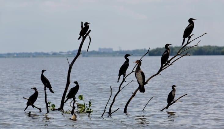 Opéra de cormorans en 9 majeurs