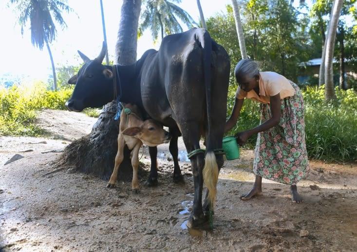 veau vache appartenant à Shanti