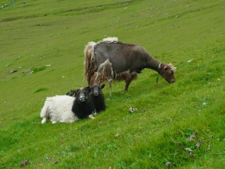 Le mouton punk : à la fois moderne et rebel