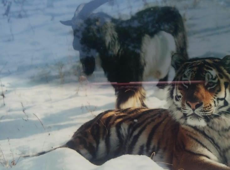 Dans le parc tigres et chèvres vivent en paix. Le paradis? S`il   n`y avait  rien dans les ecuelles ce serait  sans doute autre chose!