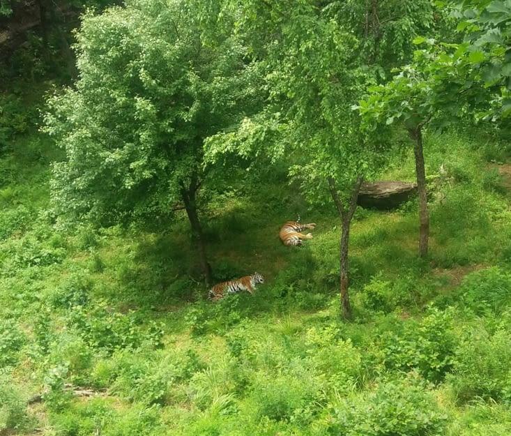 Repus, les tigres dorment comme de gros chats.