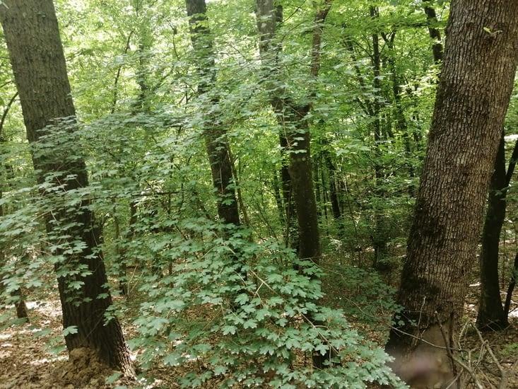 Des bois de chênes sur des hectares