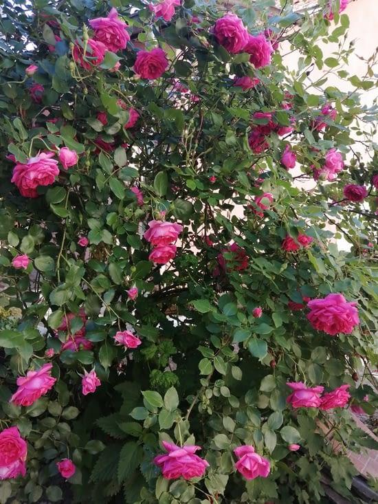 Les roses ont un parfum delicieux