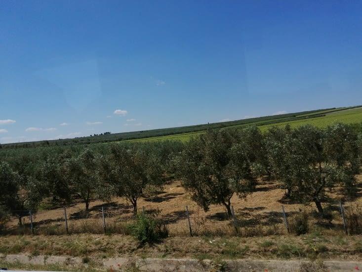 Des km de champs d'oliviers