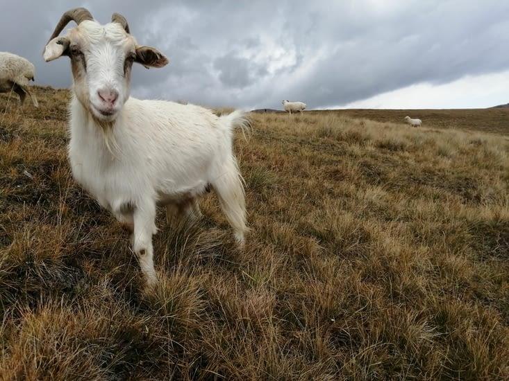 Les petites chèvres aussi sont toutes mignonnes