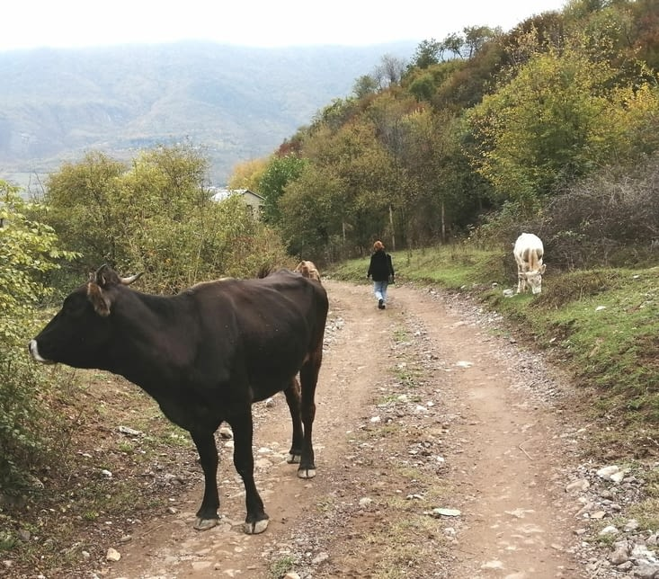 Au retour je croise les vaches qui viennent sans doute d'être traites