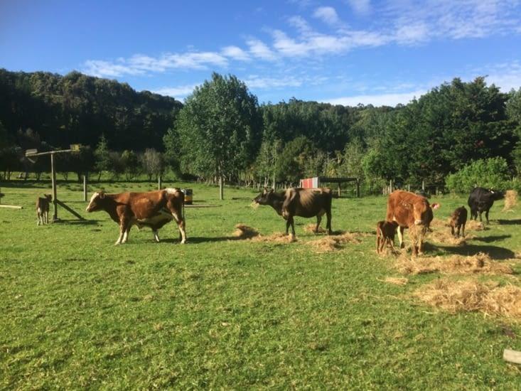 Repas des vaches