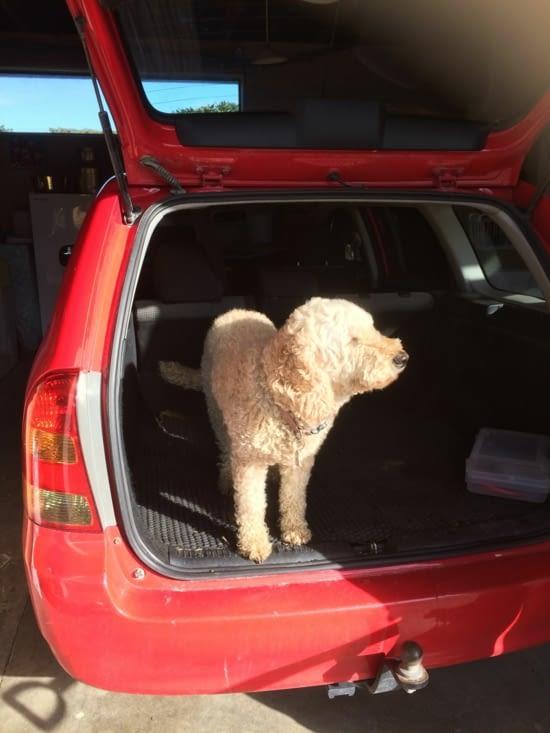 Polly aime le coffre de la voiture