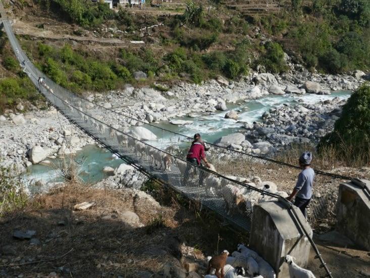 Les moutons du Nepal