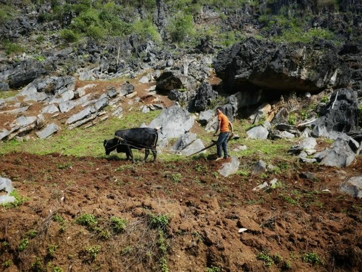 Les hommes labourent les terrains a l'ancienne grâce aux Buffles