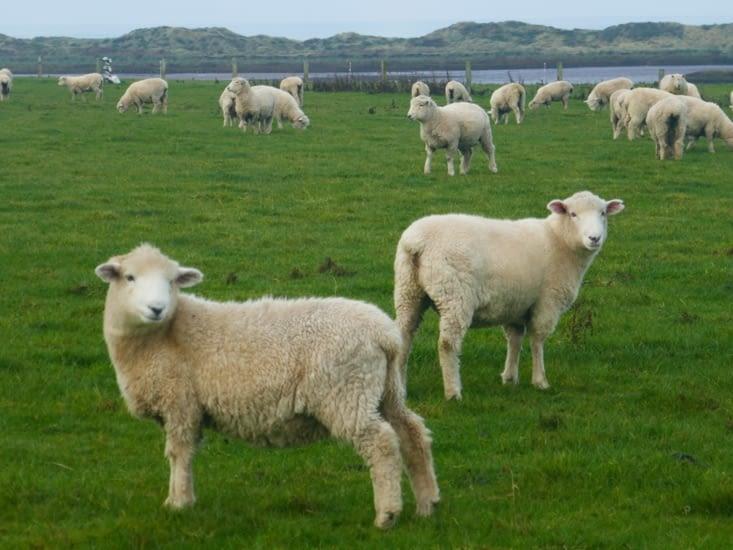 Des moutons, en veux tu, en voilà!