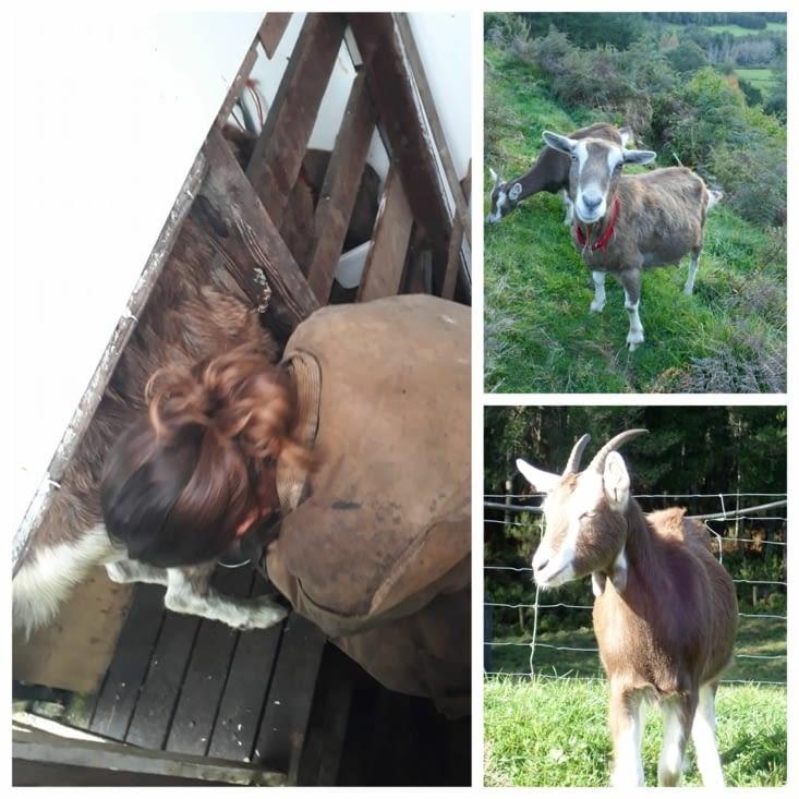 Les chèvres, la maman et son petit