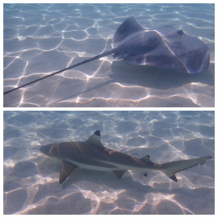 Nage avec requins et raies