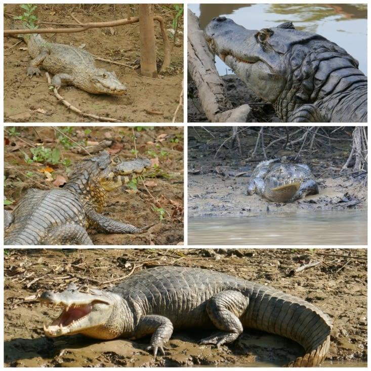 Caïmans ou Alligators