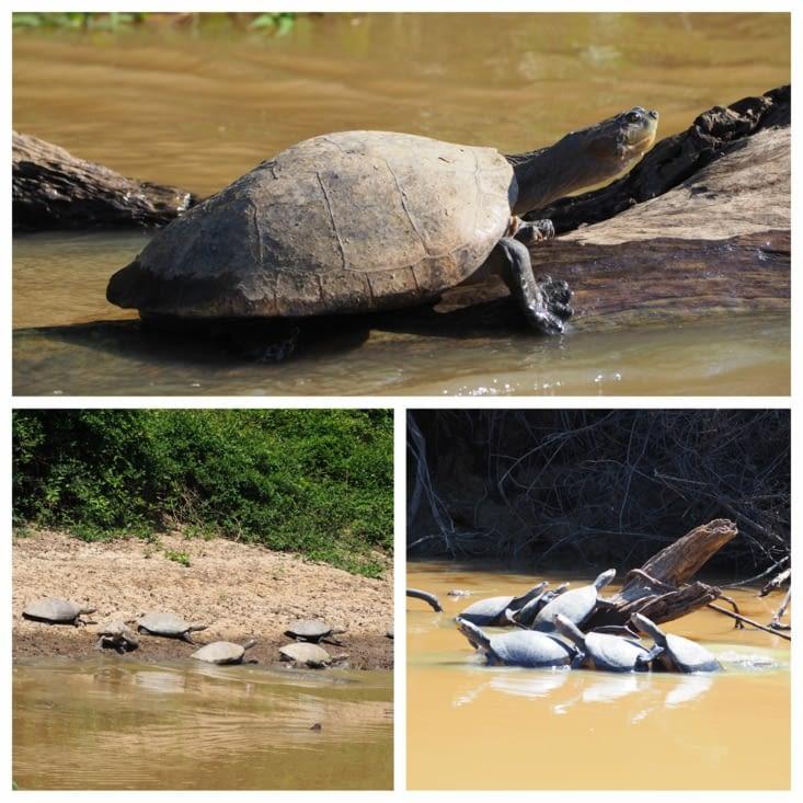 Les tortues galapagos