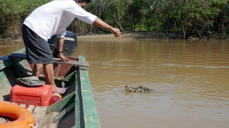 Un alligator chasseur