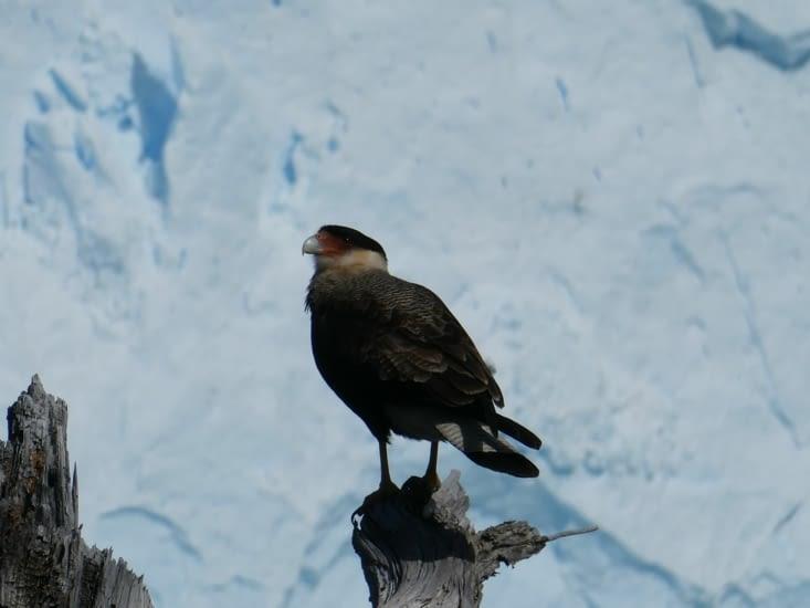 Le faucon des glaciers