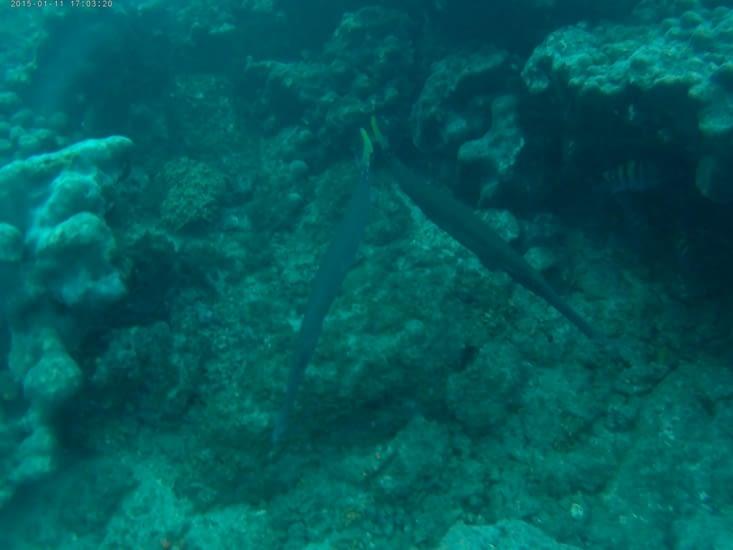 Le poisson flûte