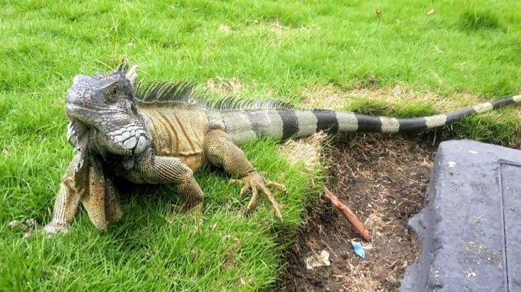Le parc des Iguanes