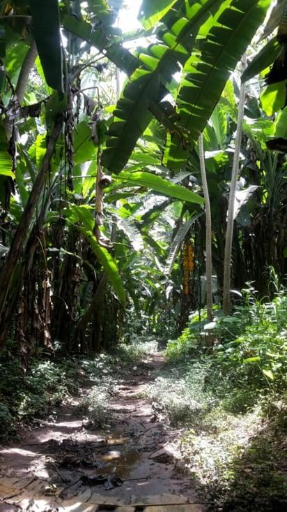 Carara : au mileu des bananiers