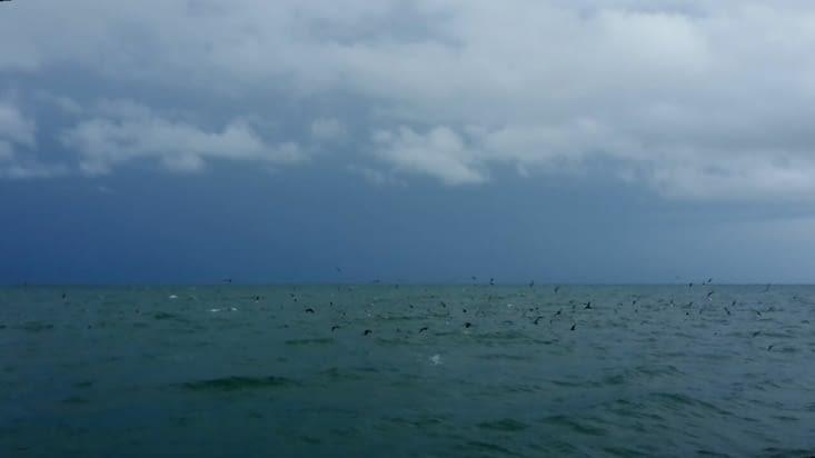 Une nuée de pelicans