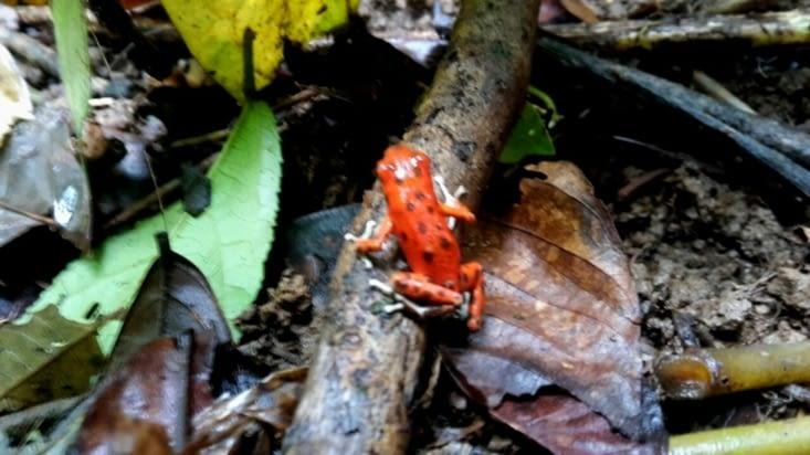 La rarissime Grenouille Rouge (Panama)
