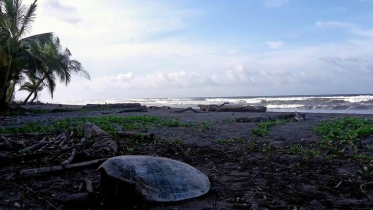 Les jaguars de la plage de Tortuguero (Costa Rica)