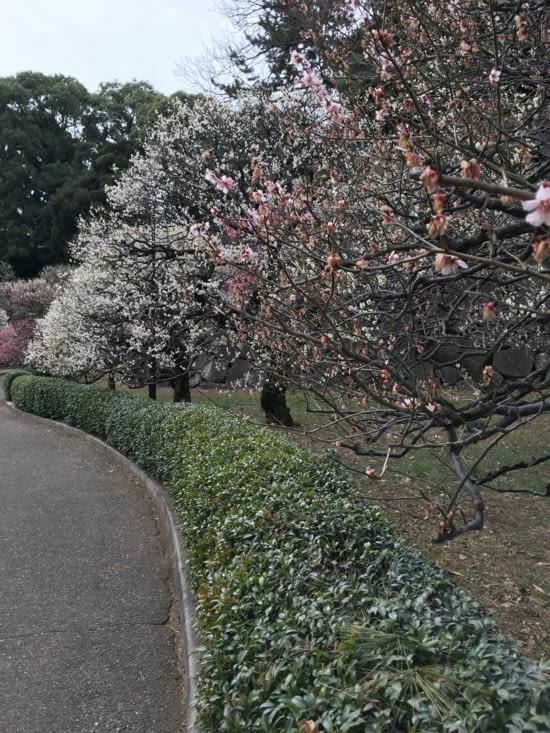 Les pruniers en fleur dans le jardin impérial.