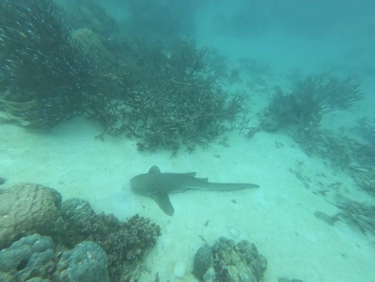 Requin léopard vu lors de la randonnée palmée sur la barrière de corail