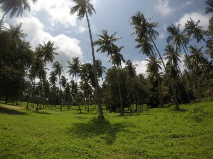 Pour aller à la plage, nous traversons un champ de cocotiers