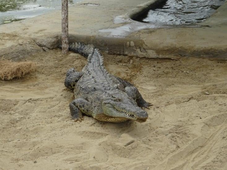 Ils sont méchants, ils sont gros... Ce sont les crocos !