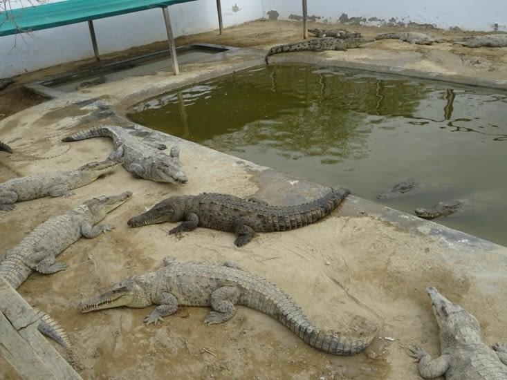 Jusqu'à 48 crocodiles dans cet enclos
