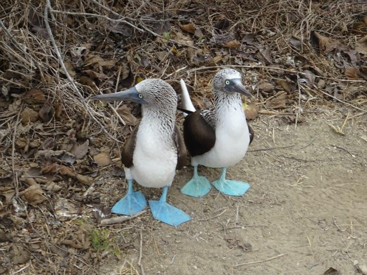 Les fameux fous à pattes bleues
