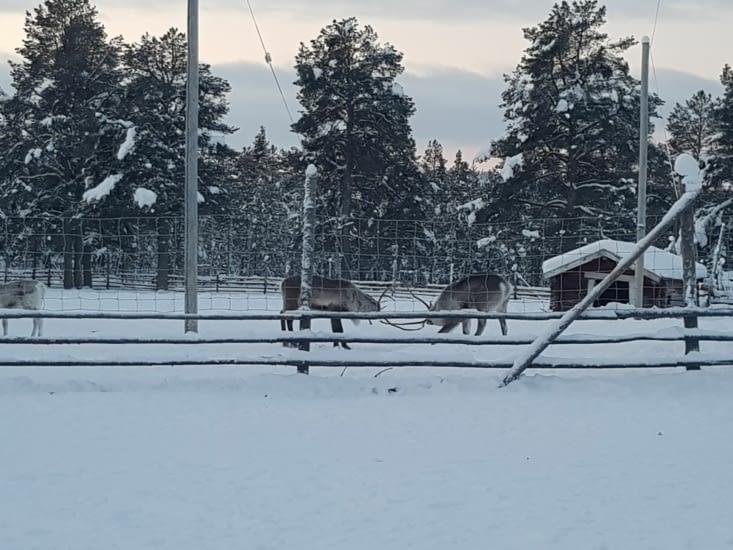 combat de rennes