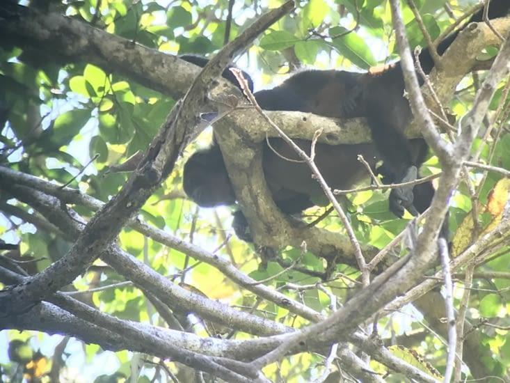 Mono Congo, singe hurleur