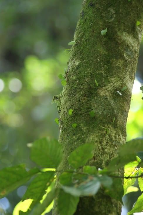 Procession de fourmis champignonnières, ou coupeuses de feuilles
