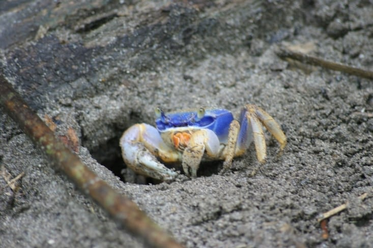 Crabe bleu bicolore