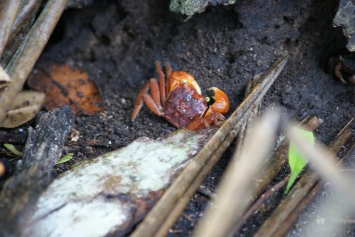 Crabe terrestre