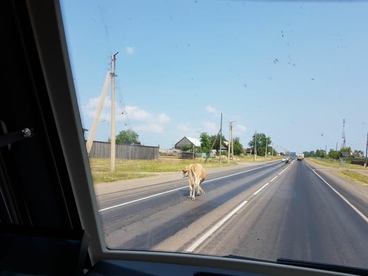 Sur la route on croise des rencontres inatendues: vaches, chevaux, renard ...