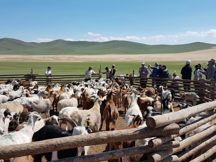 Son troupeau de chèvres et de moutons